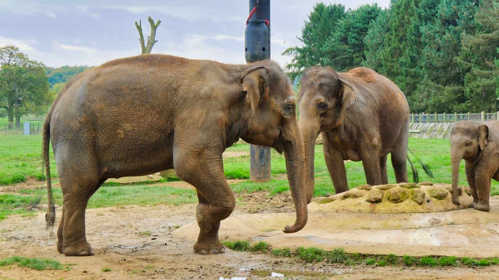 An elephant standing on three legs