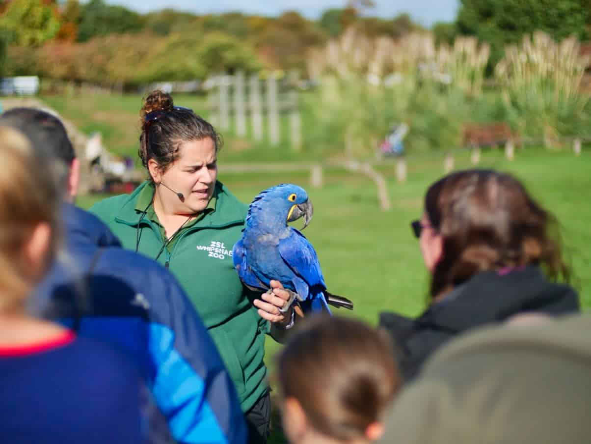 A zookeeper holding a blue parrot