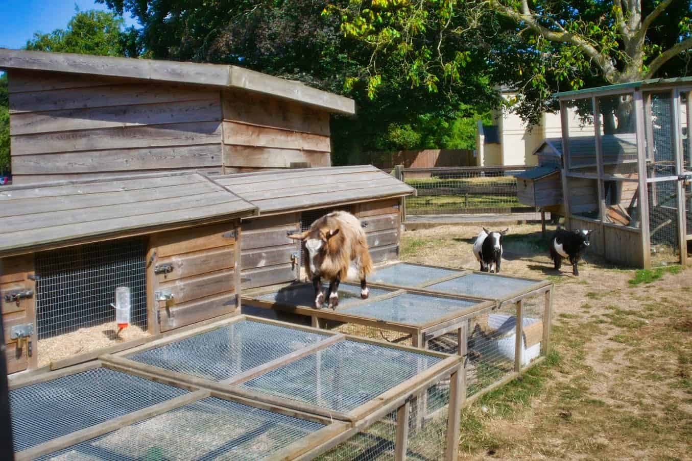 A goat standing on top of a chicken pen