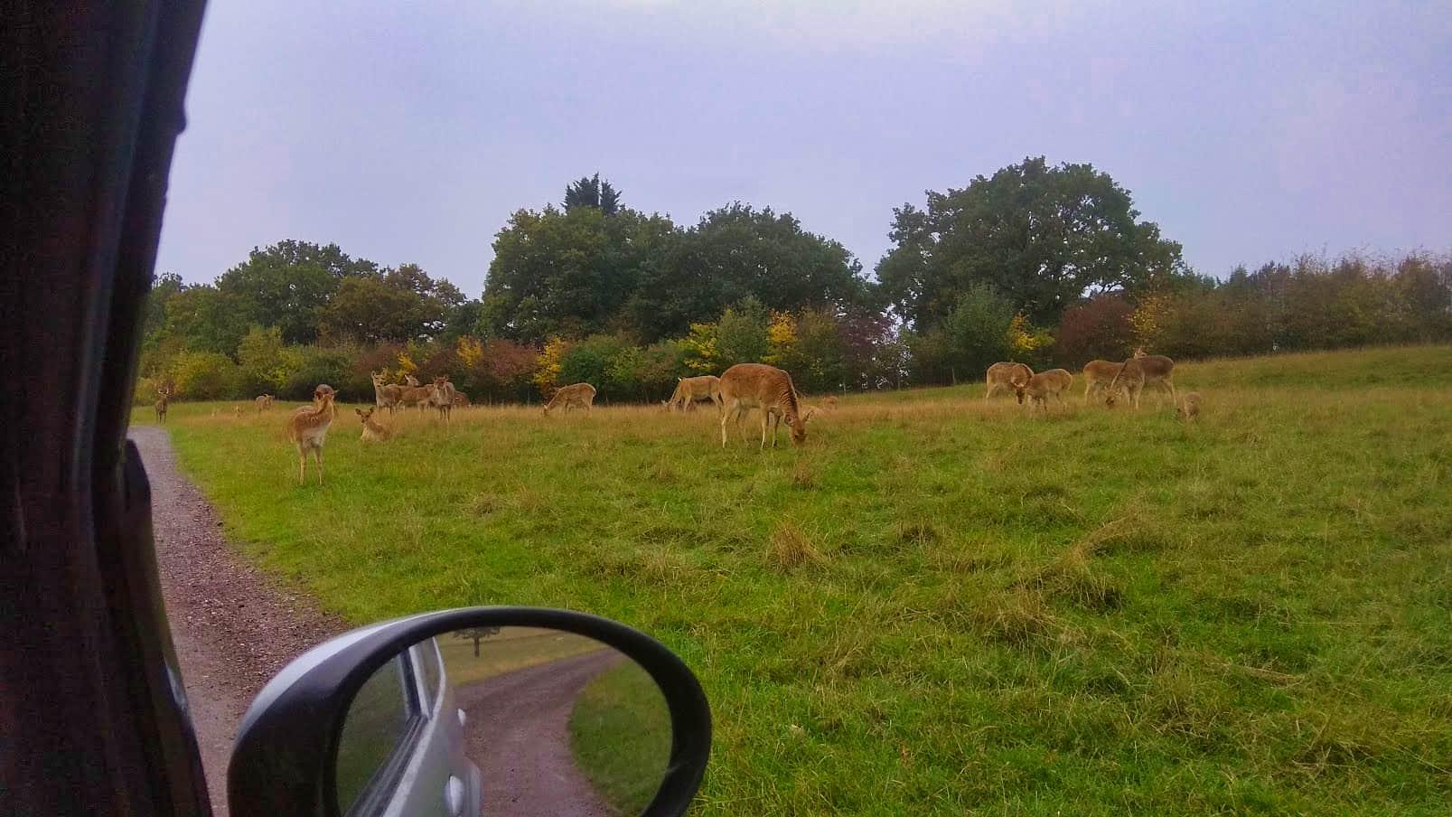 Deer-like animals seen from inside a car
