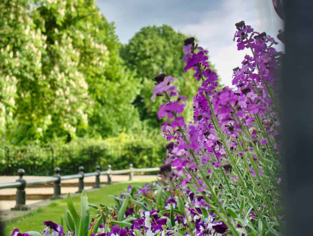 Purple flowers with green trees behind
