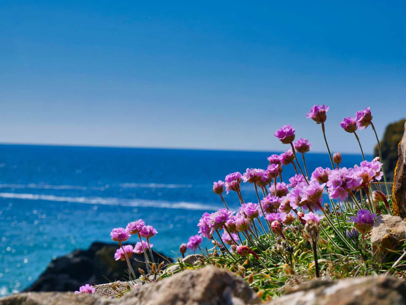 Purple flowers on a cliff over Kynance Cove