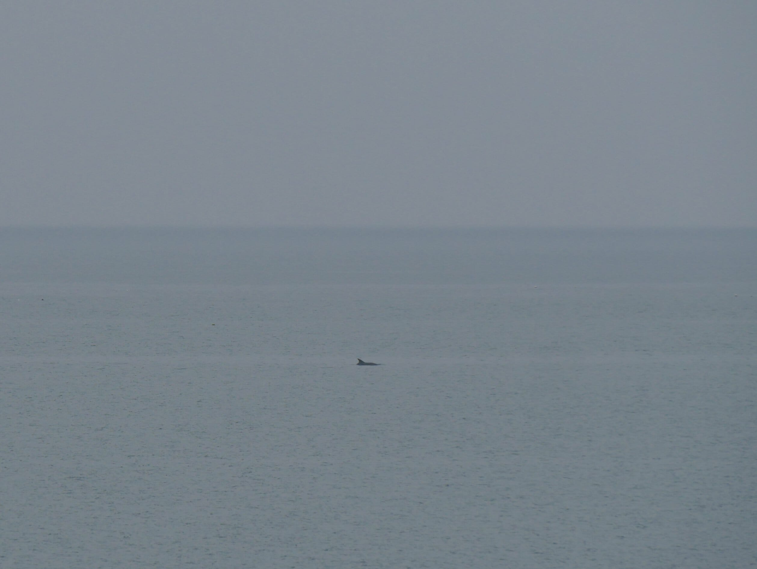 A dolphin in New Quay, Wales