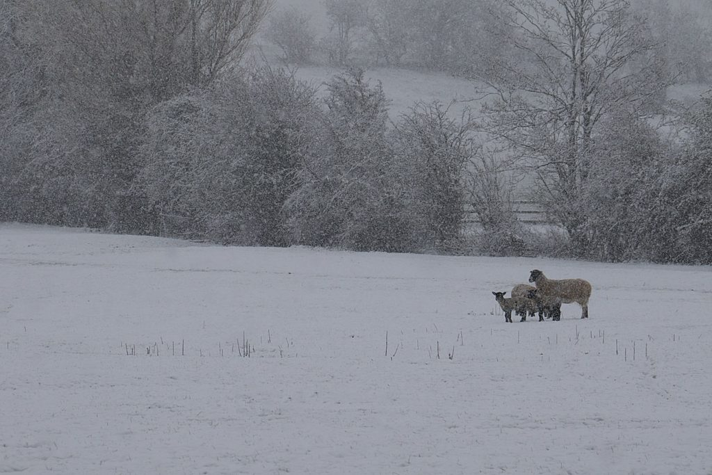 Some sheep in a snowy field in The Cotswolds, as it snows